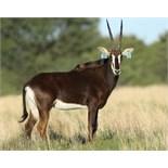 "ZAMBIAN COW WALKING WITH 50+"" ZAMBIAN BULL LOMBA - 1 FEMALE"