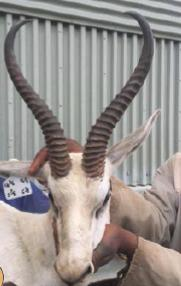 Lot 9 - SPRINGBOK RAMS JULES OF THE KAROO