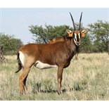 "INTERMEDIATE COW IN CALF TO 50+"" ZAMBIAN BULL LOMBA - 1 + 1 FEMALE"