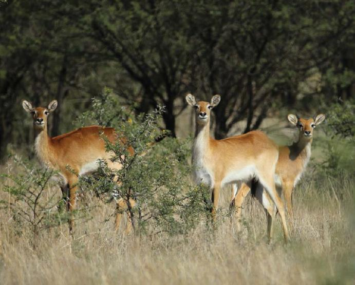 Lot 52 - RED LECHWE FAMILY GROUP - 1 MALE , 4 FEMALES