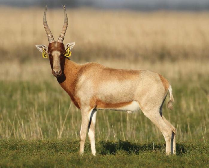 Lot 50 - YELLOW SADDLEBACK BLESBOK RAM - 1 MALE