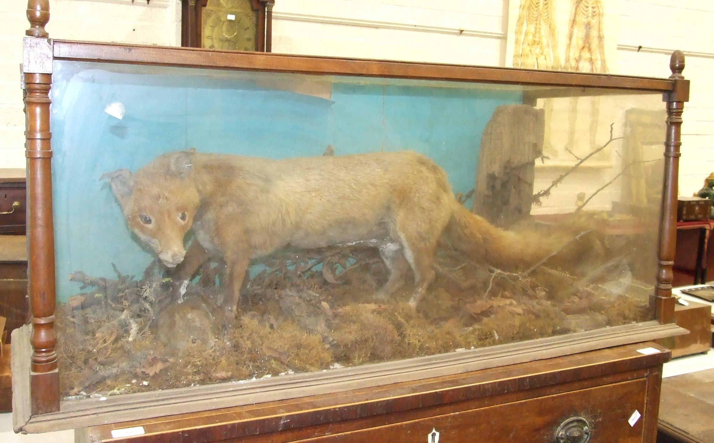 Lot 31 - A taxidermy fox in glazed case, 118 cm long 54 cm high.
