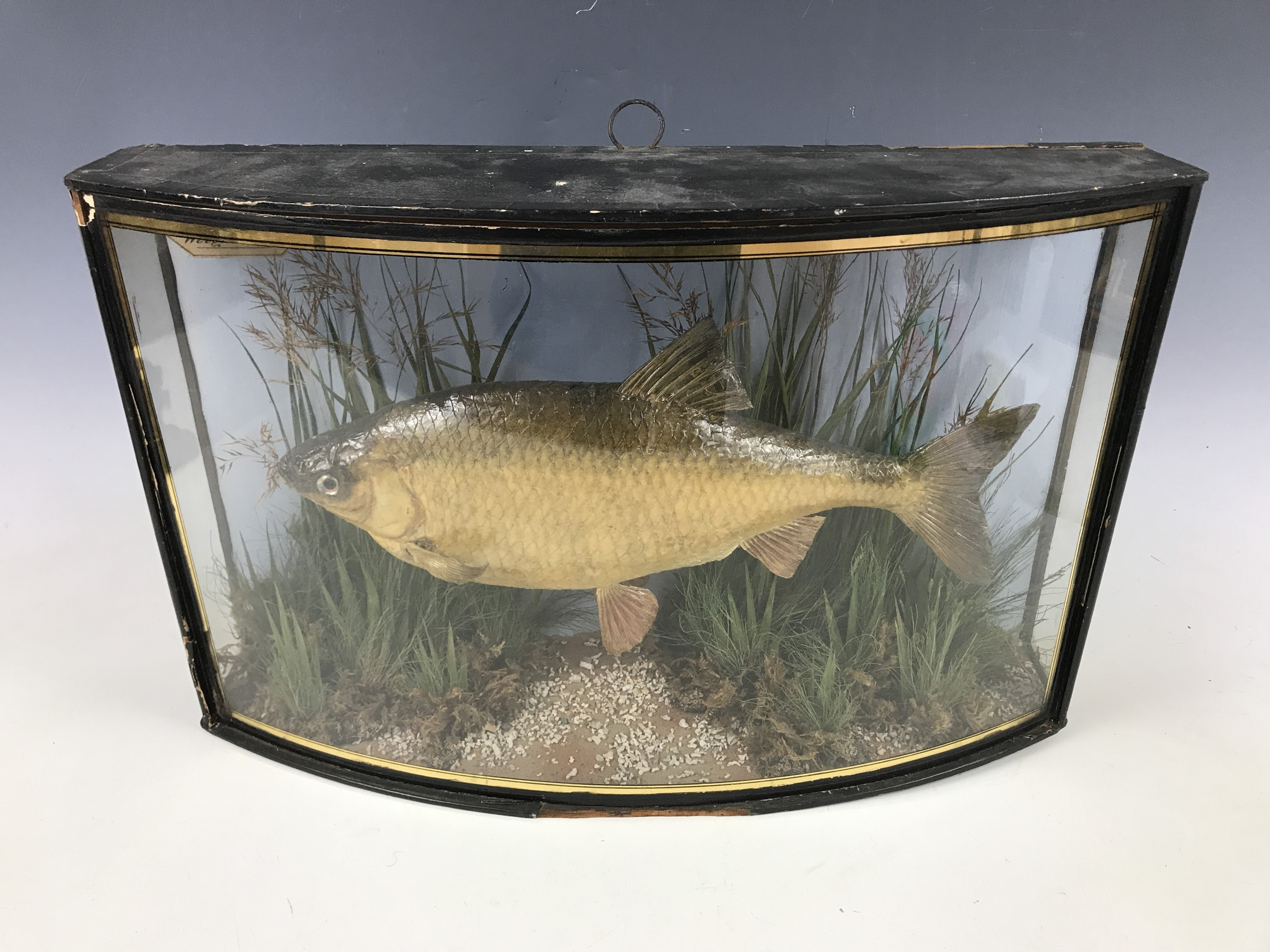 Lot 21 - A 19th Century taxidermy fish preserved by J Cooper of 28 Radnor Street, London, bearing